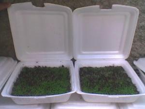 Gambar 2. Paket Bibit Jabon berumur 1-2 bulan berukuran 2-5 cm